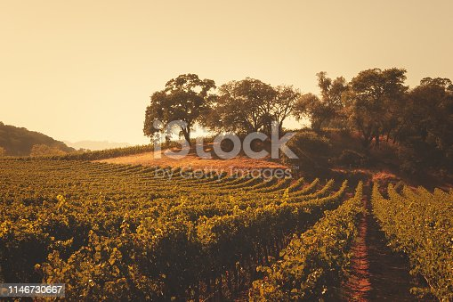 Rows of wine grapes growing in the Napa Valley region of California on a warm day.