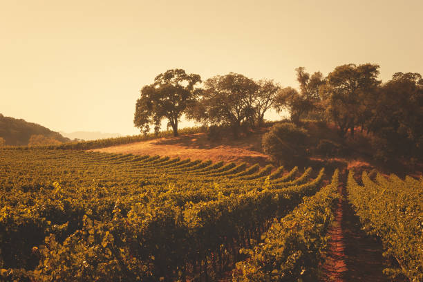 Rolling Vineyards Landscape Napa Valley, California stock photo