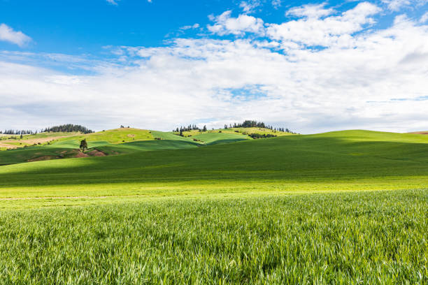 Rolling wheat fields in the Palouse hills. stock photo