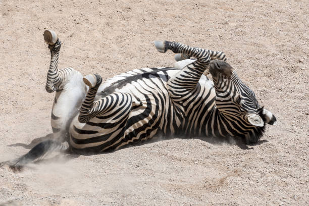 Rolling Zebra stock photo