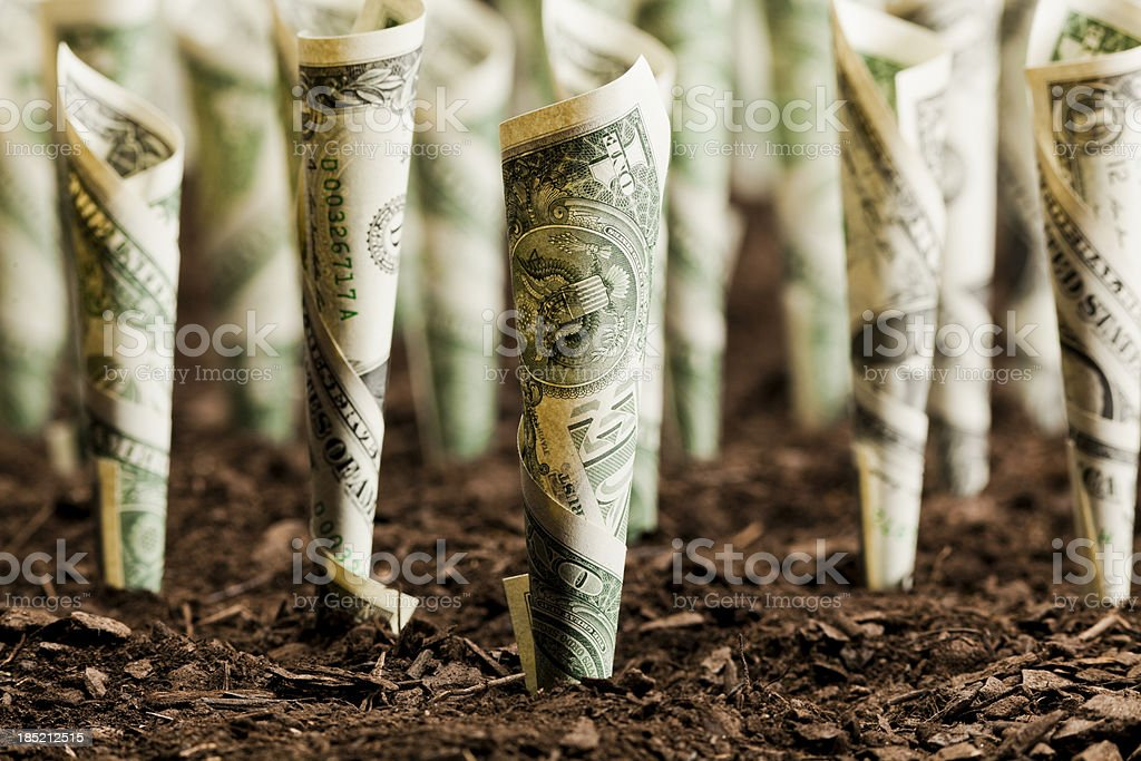 Rolls of dollar bills planted on soil as investment stock photo