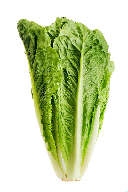 Romaine Lettuce, Fresh Raw Green Leaf Vegetable Isolated on White A head of romaine lettuce, a fresh, green, raw leaf vegetable isolated on a white background. A food that may be grown in an organic garden and that may be part of a vegetarian diet. It is a typical salad ingredient. romaine lettuce stock pictures, royalty-free photos & images