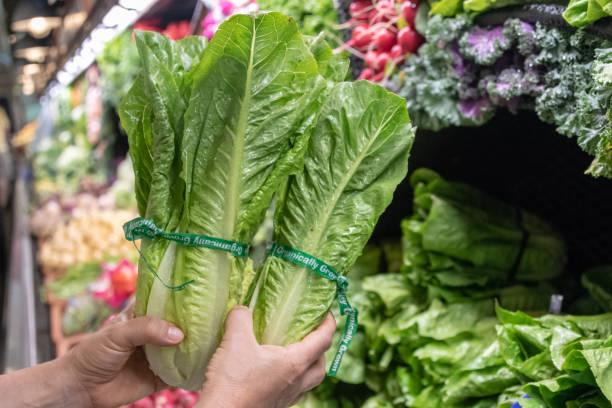 Romaine Lettuce female hands holding organic romaine lettuce. romaine lettuce stock pictures, royalty-free photos & images