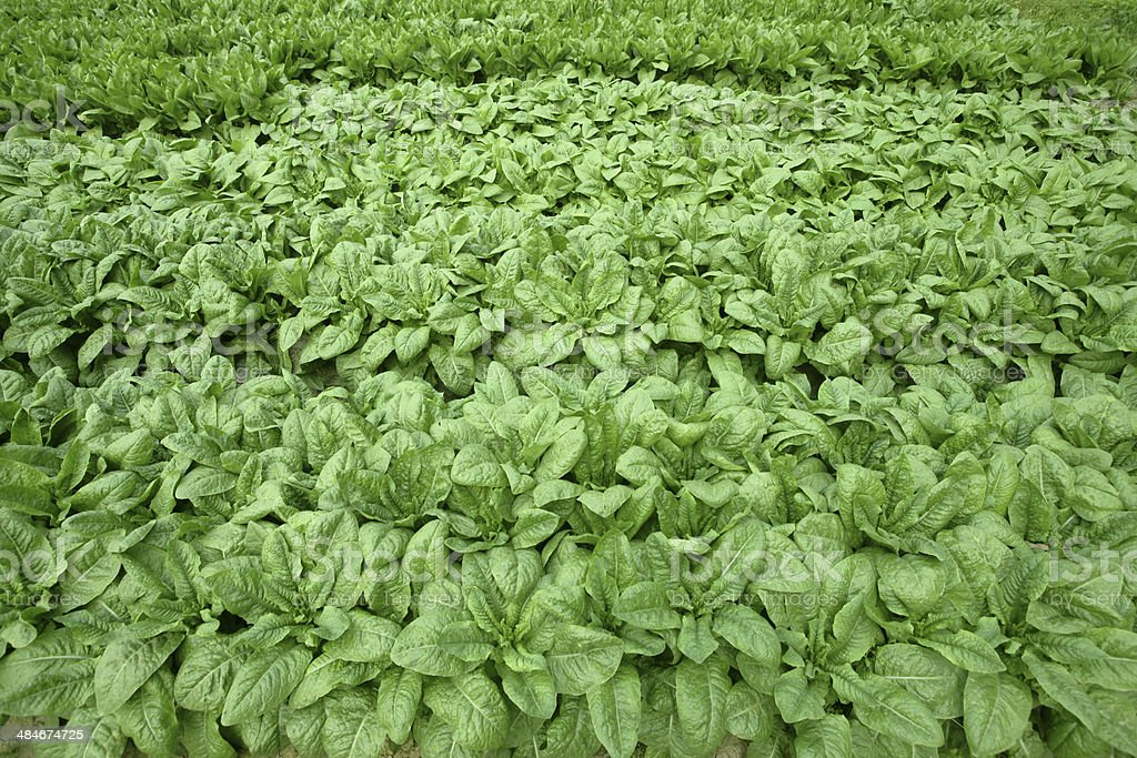 Romaine lettuce plantation royalty-free stock photo