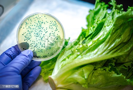 Bacterial culture plate against romaine lettuce