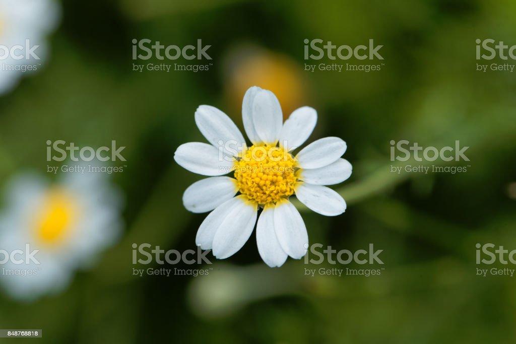 Roman chamomile, Chamaemelum nobile stock photo