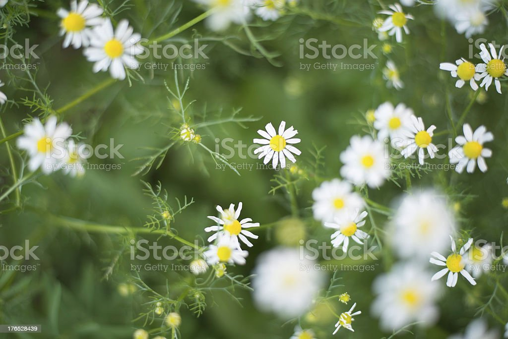 Roman chamomile royalty-free stock photo