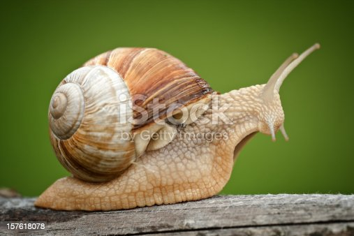 Close up of a Roman Snail (Helix pomatia) with vignette.