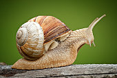 Close up of a Roman Snail (Helix pomatia) with vignette.
