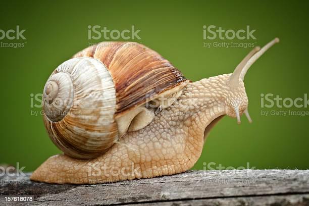 Roman snail on piece of wood picture id157618078?b=1&k=6&m=157618078&s=612x612&h=v2zqcvmqikz xrzk6um1t 7ktgkixut2tx4vtiuosw4=
