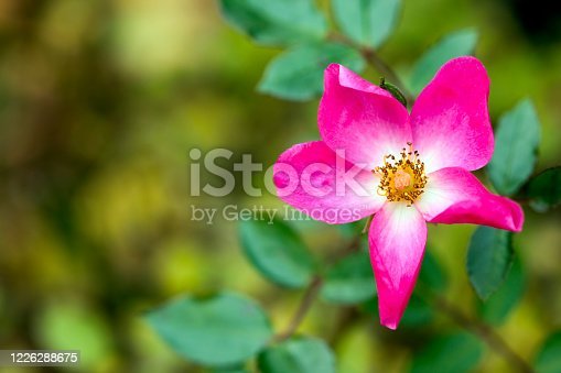 Romantic and The Natural Pink Flowers Photo