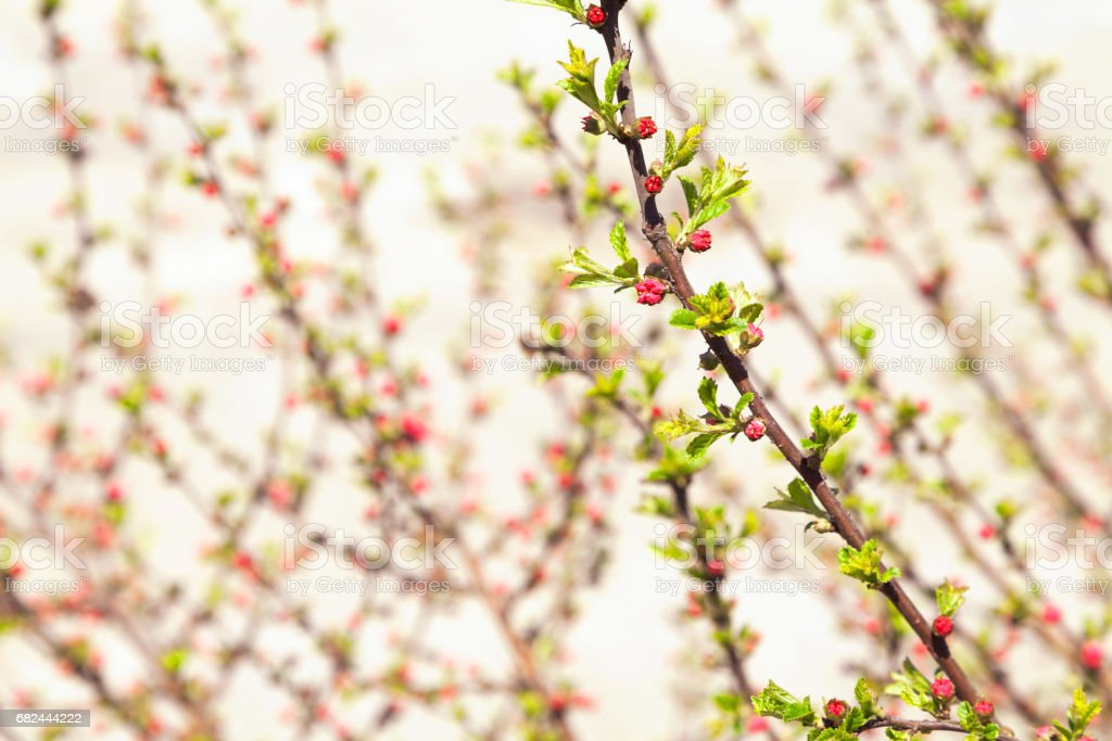 Romantic blooming bush branches in spring blurry close-up background royalty-free stock photo