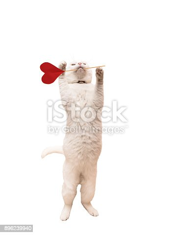 Romantic cat - white cute kitten carries heart in the muzzle