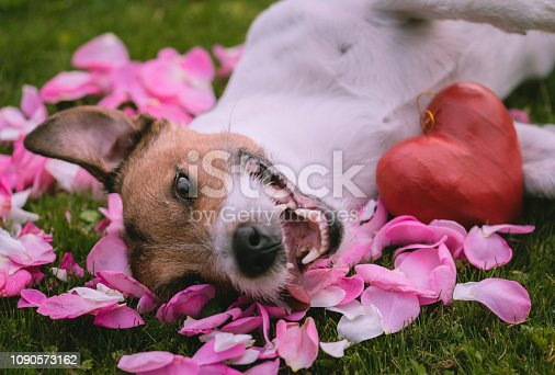 Jack Russell Terrier lying on pink flower petals