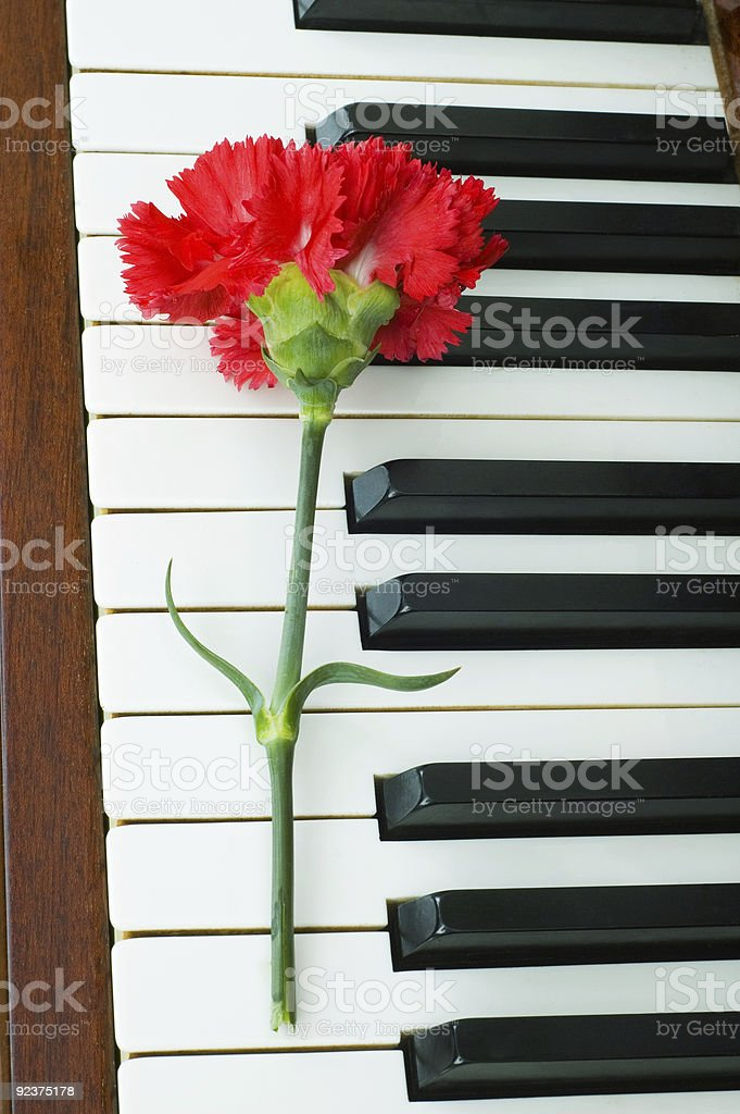 Romantic concept - red carnation on piano keys royalty-free stock photo