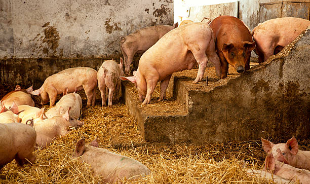Romantic Dirty Pig stable+ stock photo