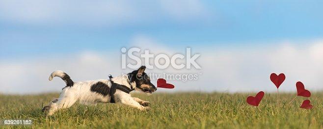 istock Romantic dog - jack russell terrier 639261182