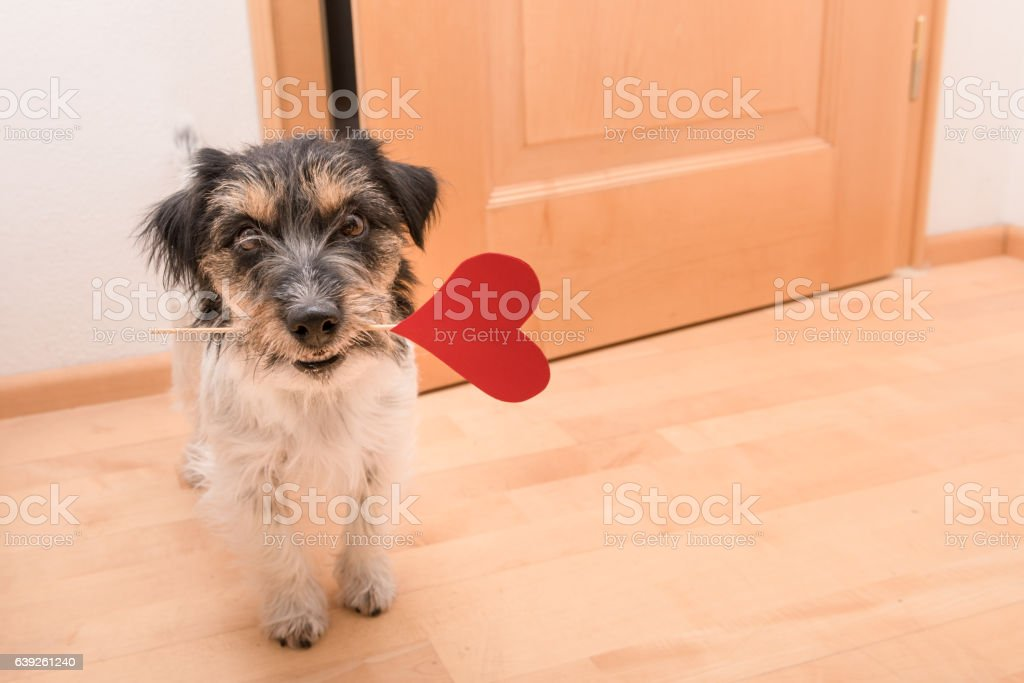 Romantic dog - jack russell terrier stock photo
