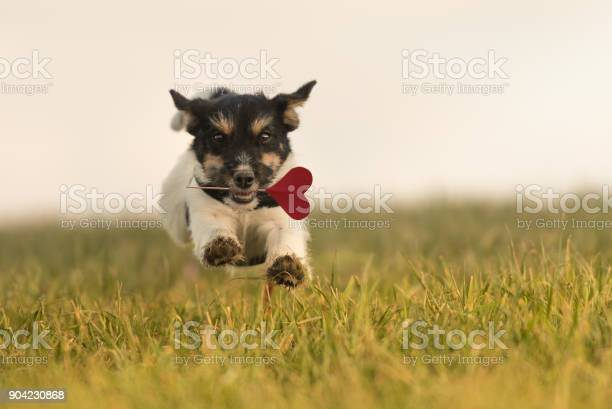 Romantic dog runs across the meadow jack russell 6 months old hair picture id904230868?b=1&k=6&m=904230868&s=612x612&h=olwfctwffcbyhrvcuzatgje8yc ffbyai5crhj3ebcg=