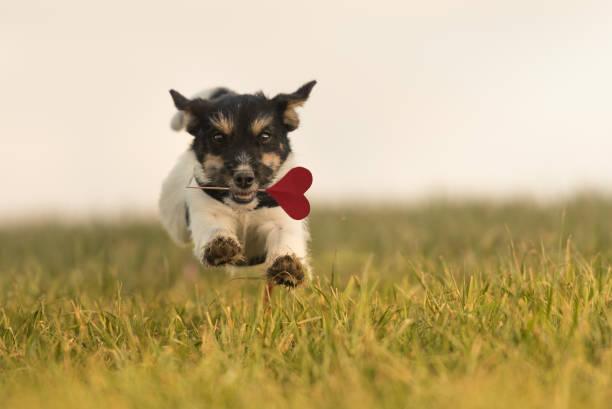 Romantic dog runs across the meadow jack russell 6 months old hair picture id904230868?b=1&k=6&m=904230868&s=612x612&w=0&h=tytlkbj1jg  6unxp3gr k68wnukjpx4mtpzjpb xys=
