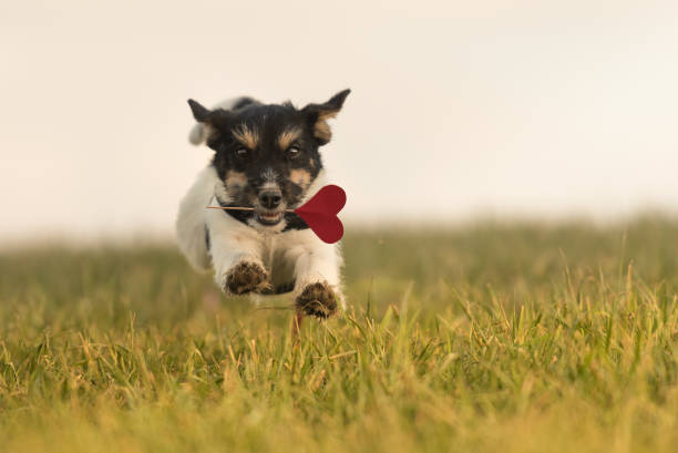 Romantic Dog runs across the meadow - Jack Russell 6 months old. Hair style rough Romantic Dog runs across the meadow - Jack Russell 6 months old. Hair style rough animal valentine stock pictures, royalty-free photos & images
