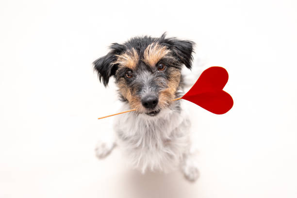 Romantic Dog - Small cute Jack Russell Terrier doggy with a heart as a gift for Valentine in the mouth is looking up. Picture isolated on white. Romantic Dog - Little cute Jack Russell Terrier doggy with a heart as a gift for Valentine in the mouth is looking up. Picture isolated on white. animal valentine stock pictures, royalty-free photos & images