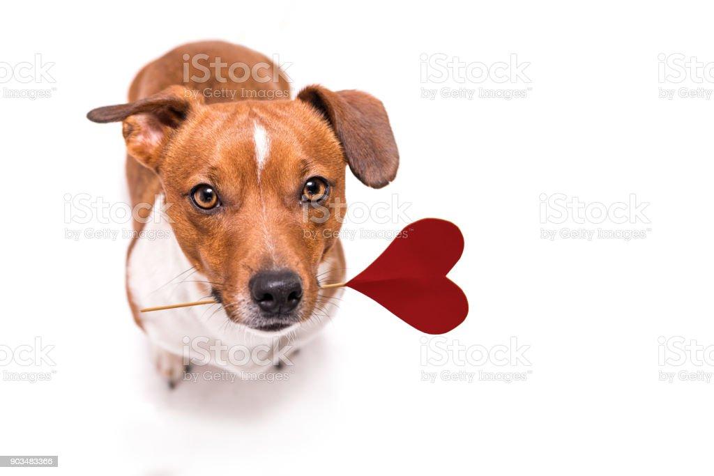 Romantische Hund - kleine süße Jack Russell Terrier Doggy mit einem Herz als Geschenk zum Valentinstag im Mund – Foto