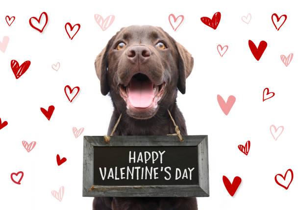 romantiska hund med texten lycklig alla hjärtans dag på träskiva med söt handen ritade hjärtan på vit bakgrund för 14 februari - animal doodle bildbanksfoton och bilder