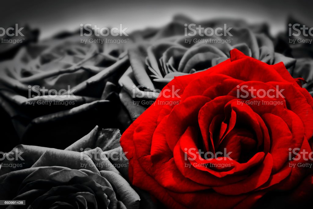 Romantic greeting card of red rose against black and white roses stock photo