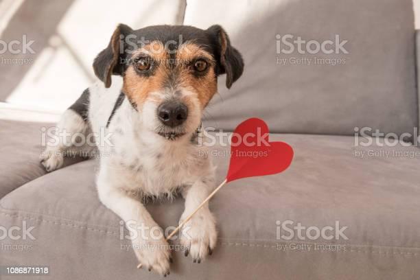 Romantic jack russell terrier dog lovable dog is holding a heart to picture id1086871918?b=1&k=6&m=1086871918&s=612x612&h=u8ok kelob3jzglxtqkvb2p4vujeqn5xrpvitb8wlvo=