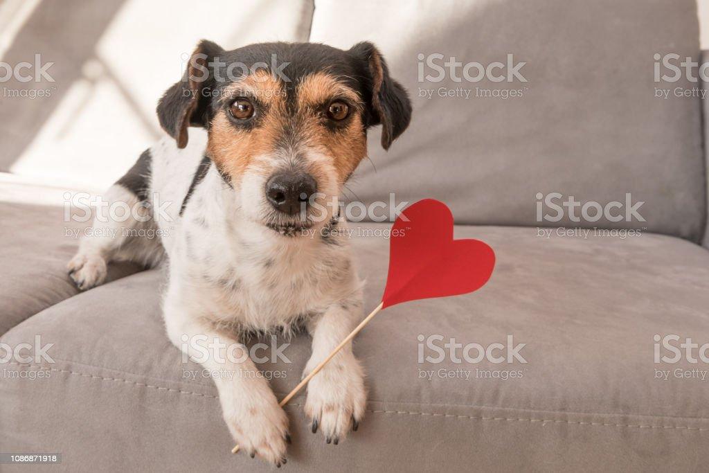 Romantische Jack-Russell-Terrier Hund. Liebenswerte Hund hält ein Herz zum Valentinstag im Mund – Foto