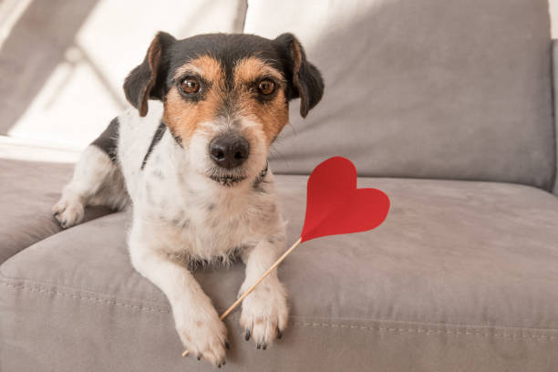 romantic jack russell terrier dog. lovable dog is holding a heart to the valentine's day in the mouth - kartka na walentynki zdjęcia i obrazy z banku zdjęć