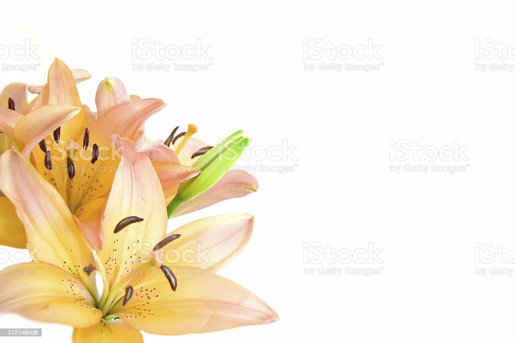 Romantic lilies isolated on white royalty-free stock photo