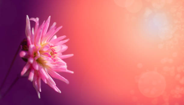 Romantic Moody Dahlia Background with bokeh, sunlight, no people, copy space stock photo