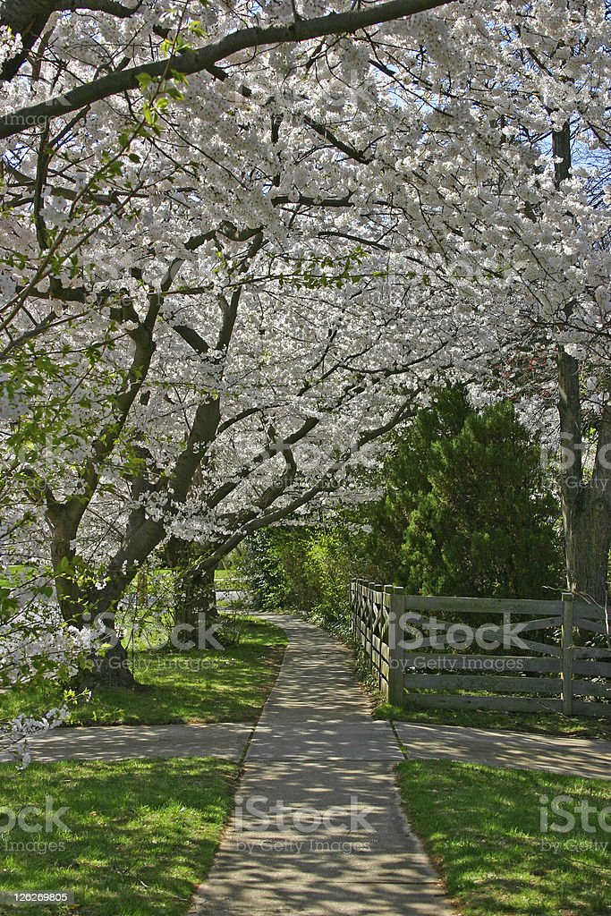 Romantic path under cherry blossoms royalty-free stock photo