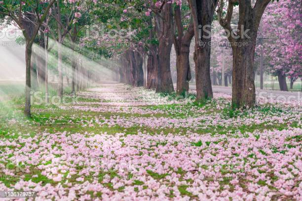 Romantic tunnel of pink flower picture id1136179737?b=1&k=6&m=1136179737&s=612x612&h=l4vwyy vrtpdmaikdxhjmssua5hptv beccxzmthxng=