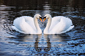 Romantic two swans on a lake, symbol heart shape of love