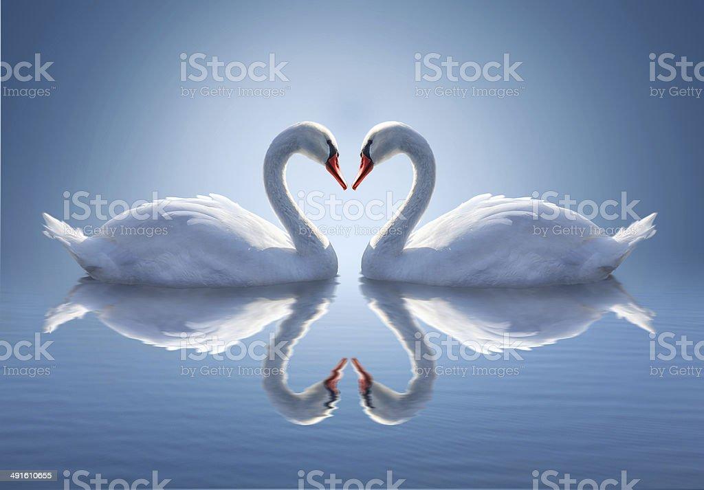 Romantic two swans,  symbol of love. stock photo