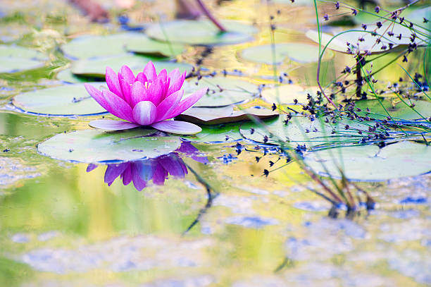 Romantic Water Lily stock photo