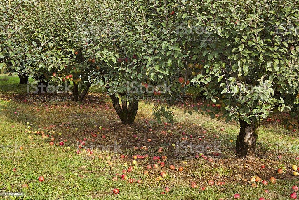 Rome Beauty Apple Trees stock photo