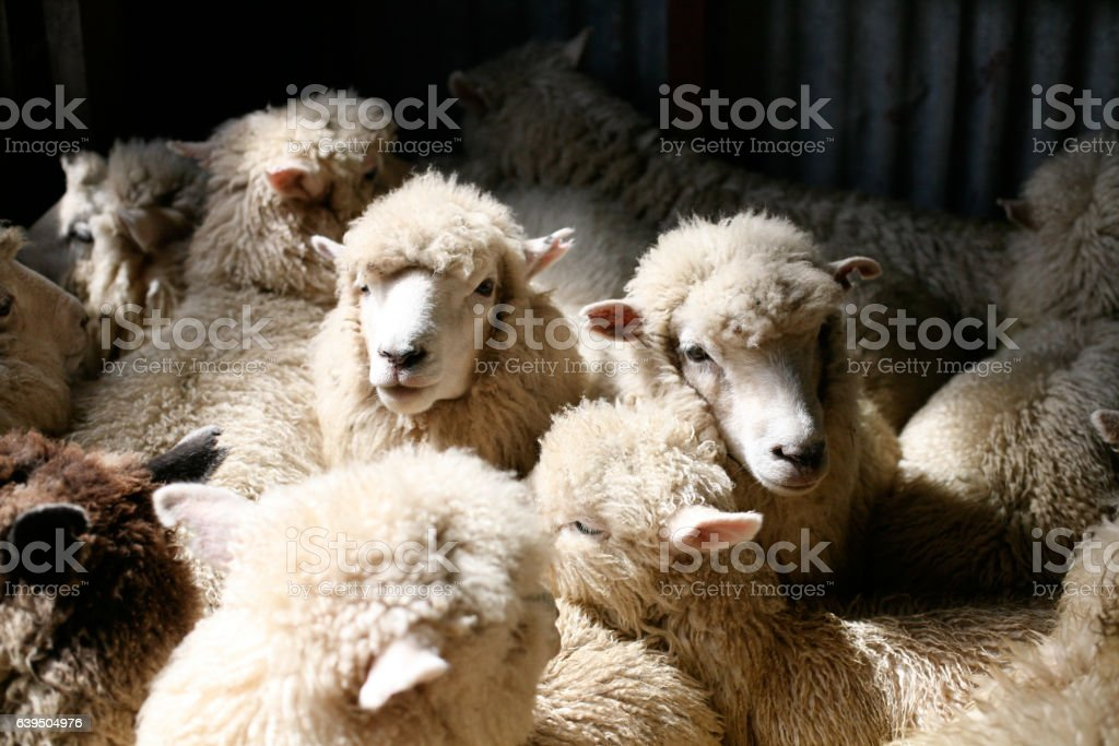 Romney Sheep Shearing Shed Kaikoura New Zealand Stock Photo
