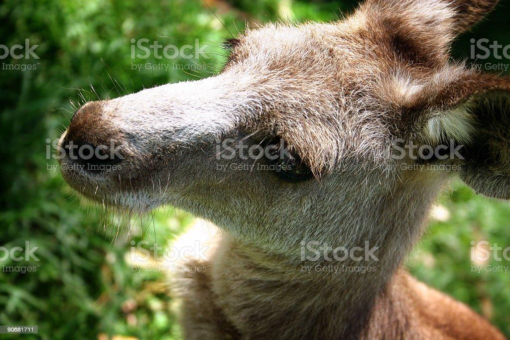 Roo Closeup royalty-free stock photo