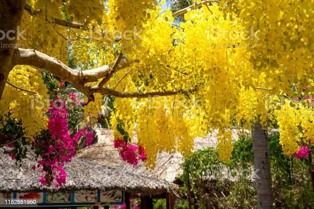 Roof left under the tree cassia fistula blossoms blooming on the tree picture id1152551950?b=1&k=6&m=1152551950&s=612x612&h=zwqnszkprlq qyluxuq 0btxdaehhjjnqwvb7gxjwv4=
