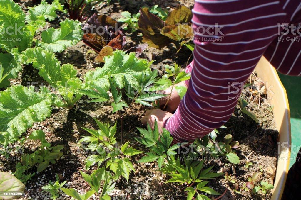 A Rooftop Vegetable Garden Stock Photo Download Image Now Istock