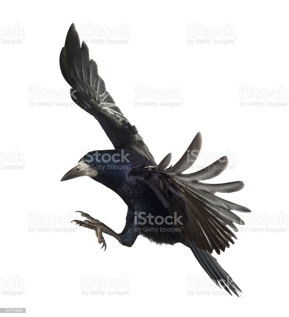 Rook, Corvus frugilegus, 3 years old, flying against white background stock photo