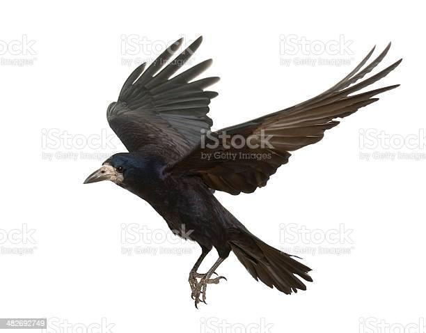 Rook corvus frugilegus 3 years old flying against white background picture id482692749?b=1&k=6&m=482692749&s=612x612&h=acckeyp6hlvznsb5sygbbtug4lglcyrb4w8gmqvbmfq=