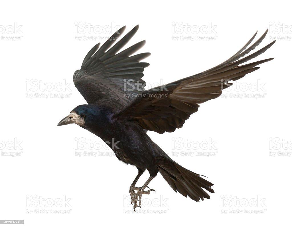 Corvo comune, Corvus frugilegus, 3 anni, volando su sfondo bianco - foto stock