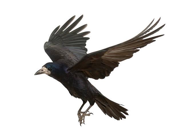 rook, corvus frugilegus, 3 jahre alt, fliegen vor weißem hintergrund - saatkrähe stock-fotos und bilder