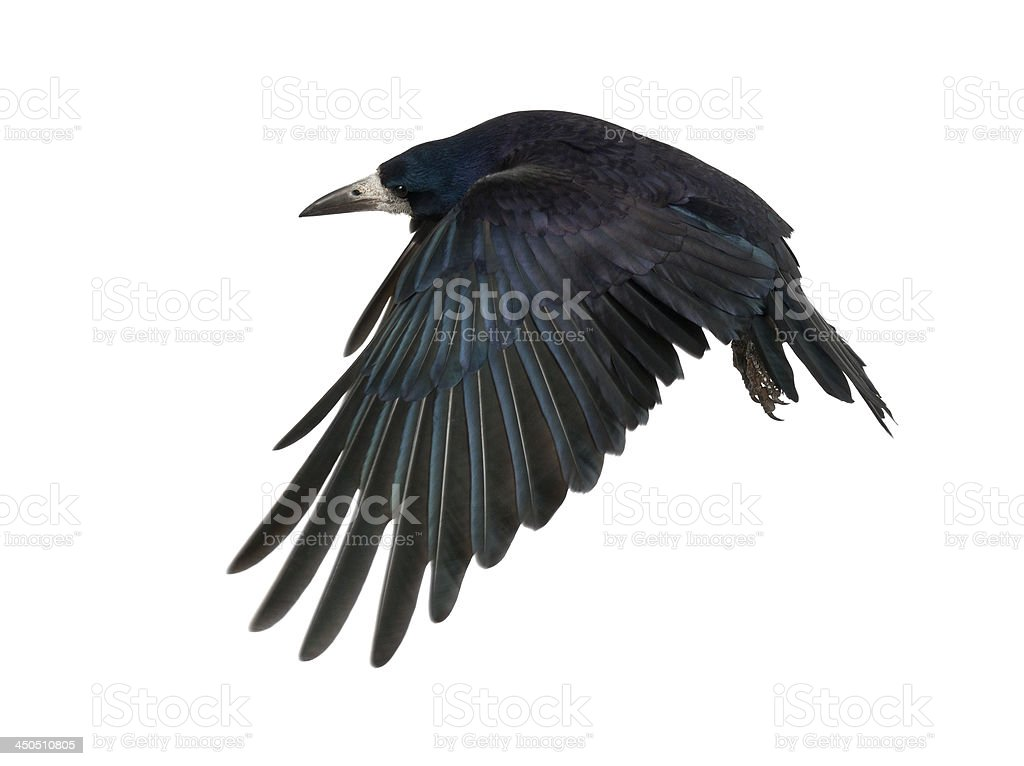 Rook, Corvus frugilegus, 3 years old stock photo