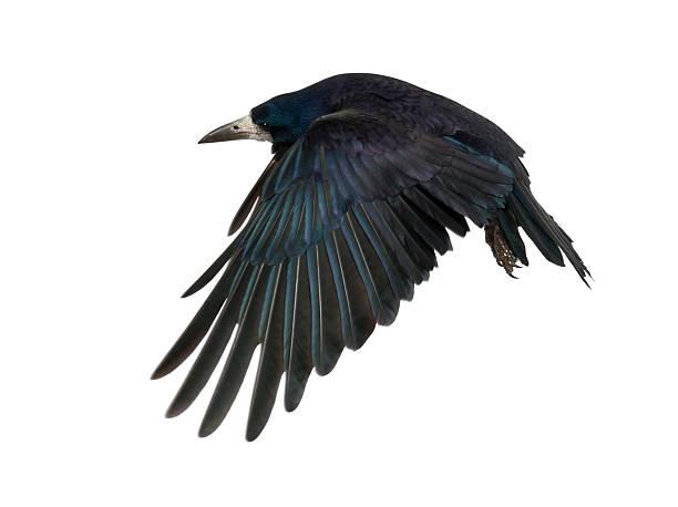 rook, corvus frugilegus, 3 jahre - saatkrähe stock-fotos und bilder